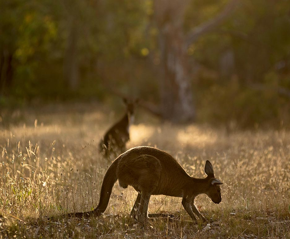 Breakfast with the Kangaroos Experience